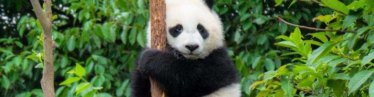 PA_0009_00_panda1709_com_ web který podporuje Pandu Velkou - panda velká - ochrana přírody